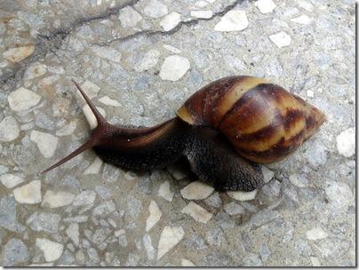 何澄祥的部落格: 非洲大蝸牛